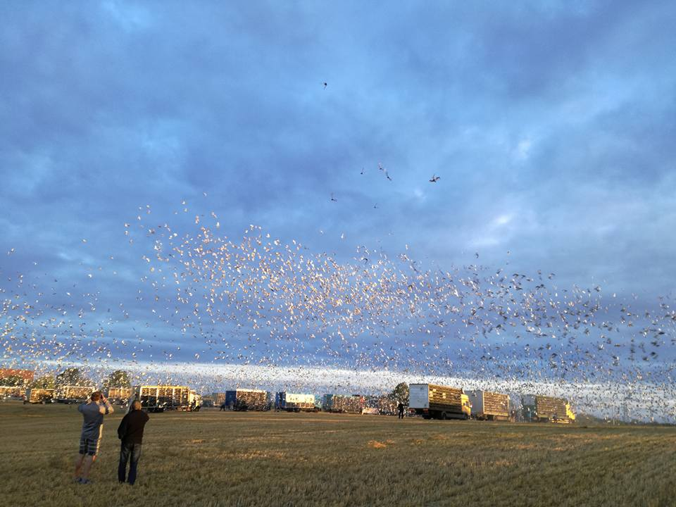 Koszowanie gołębi-Lot Narodowy Bruksela