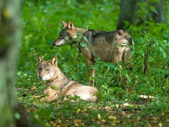 Wilki w Wielkopolsce – czy należy się obawiać?